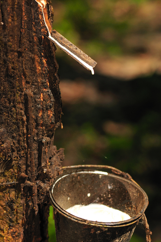 Harvesting natural rubber