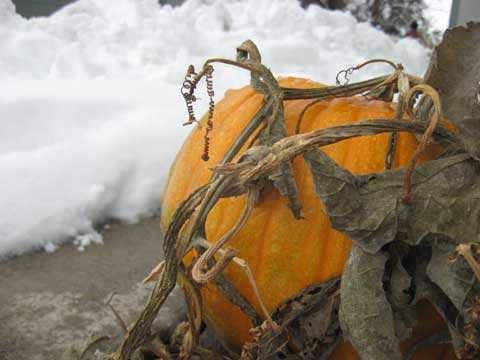 The last pumpkin harvest