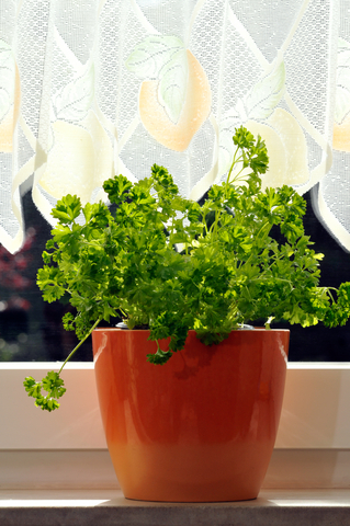 Indoor kitchen garden potted herbs
