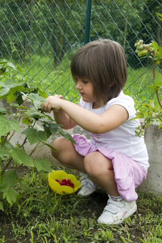 Child picking berries in the garden