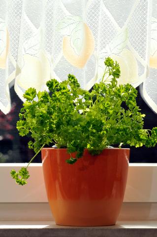 Indoor kitchen garden potted herbs
