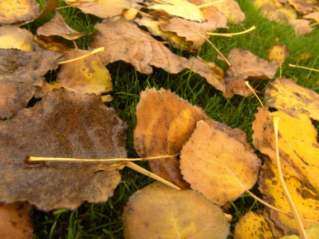 Yellow Leaves on Grass