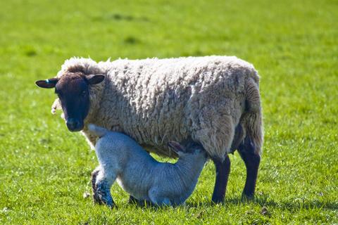 Mother sheep feeding lamb