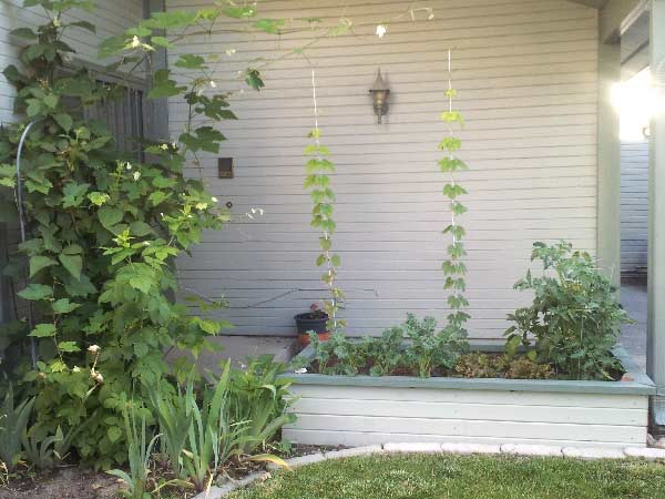 Garden planter with hops