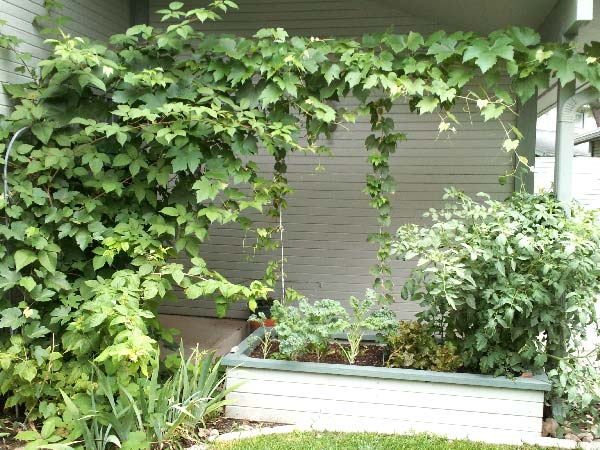 Garden wall of grapes and hops