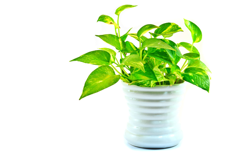 Air-purifying indoor plant
