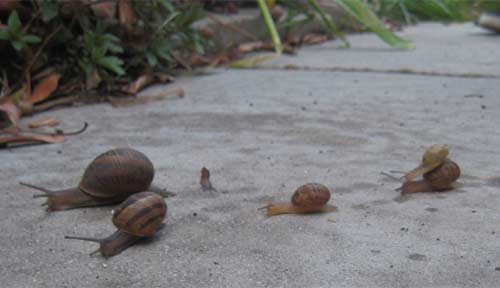 Family of snails getting ready to snack on my garden